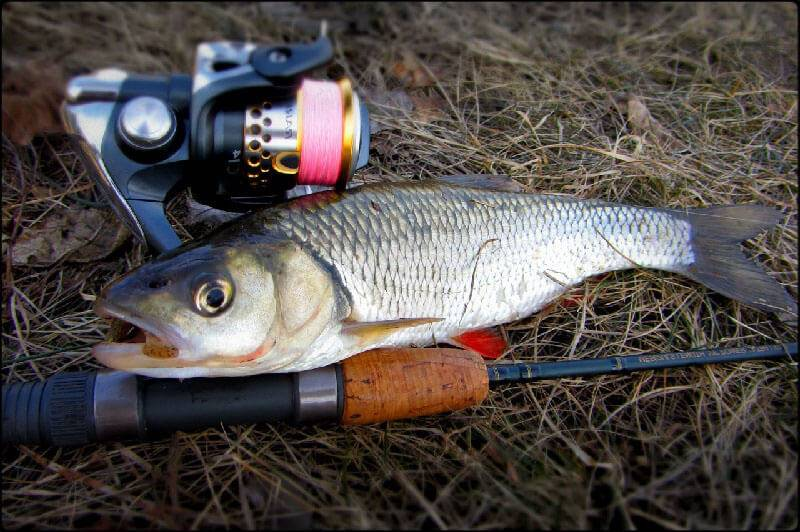 Рыбалка - Ловля жереха осенью на спиннинг | Форум охотников и рыбаков